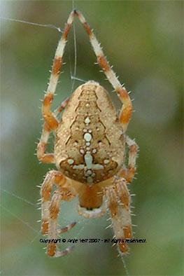 araneus diadematus the orb web spider araneus diadematus is a common garden - Common Garden Spider